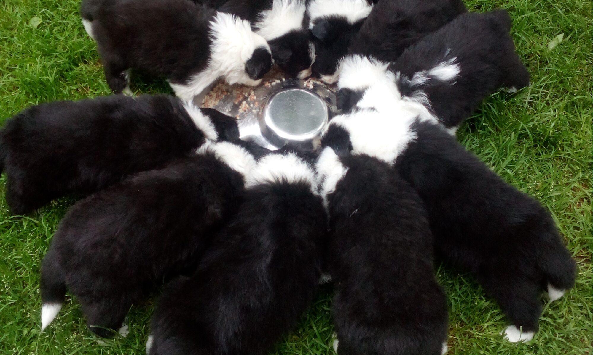 Border Collie - szczeniaki
